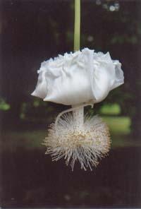 Fleur de baobab