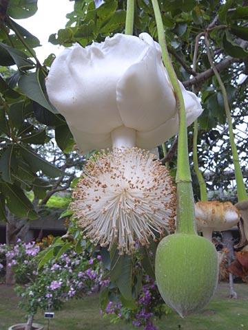 La fleur et le fruit sur l'arbre de baobab bio