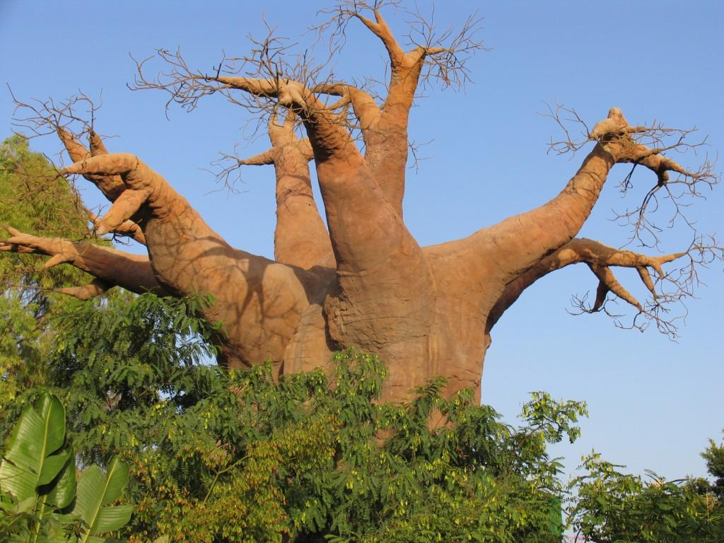 Le baobab qui produit le pain de singe, la pulpe du baobab bio