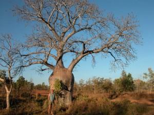 Le baobab africain