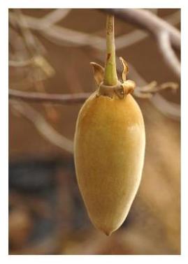 Le fruit du baobab bio Baomix