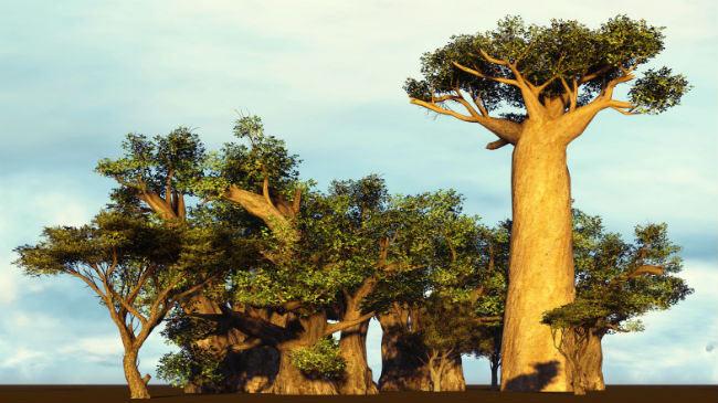 Le baobab biologique