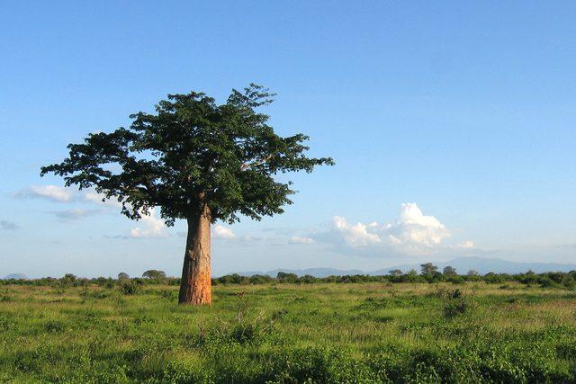 Le baobab sauvage bio qui donne un fruit riche en antioxydant naturel puissant
