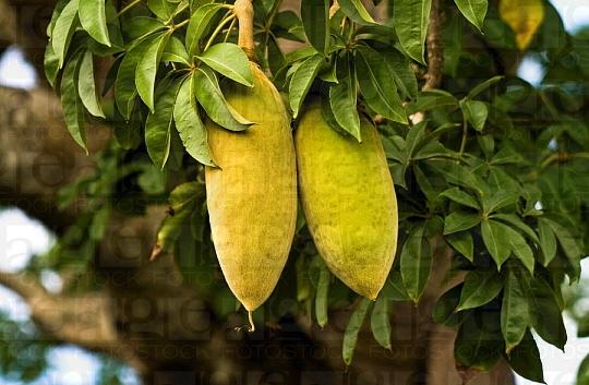 Le fruit du baobab bio Baomix, riche en antioxydant et anti âge naturel puissant