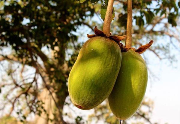 La fruit du baobab Baomix, le super fruit pour la vitalité, et pour l'équilibre du métabolisme